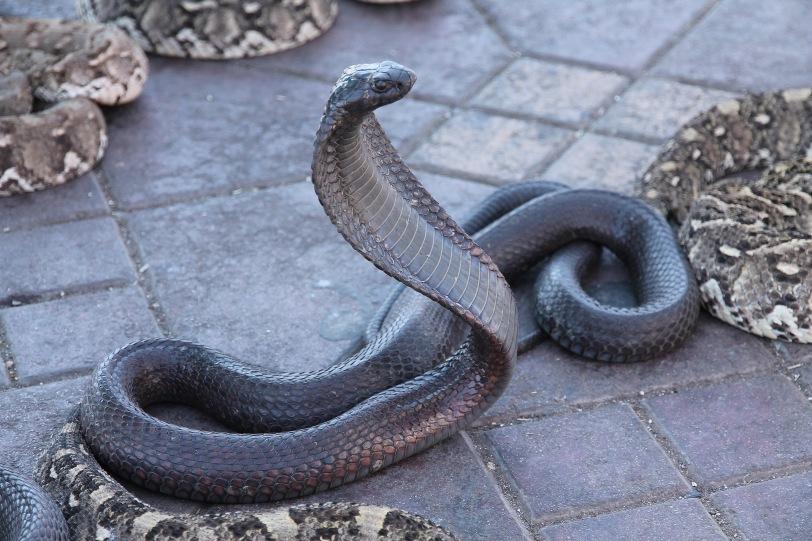 Cobra...